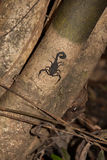 Μαύρος σκορπιός σε έναν κορμό στην περουβιανή ζούγκλα Στοκ εικόνες με δικαίωμα ελεύθερης χρήσης