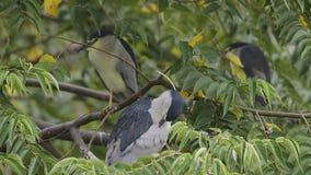 Μαύρος-στεμμένος ερωδιός νύχτας (πουλιά της Ταϊβάν) απόθεμα βίντεο