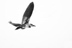 Μαύρος-στεμμένος ερωδιός νύχτας που πετά σε ένα άσπρο υπόβαθρο Στοκ Φωτογραφία