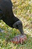μαύρος ταΐζοντας γύπας Στοκ εικόνα με δικαίωμα ελεύθερης χρήσης