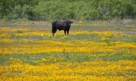 Μαύρος ταύρος σε ένα πεδίο των λουλουδιών Στοκ φωτογραφίες με δικαίωμα ελεύθερης χρήσης