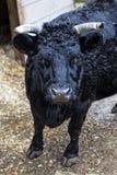 μαύρος ταύρος στοκ εικόνες με δικαίωμα ελεύθερης χρήσης