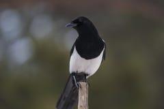 Μαύρος-τιμολογημένη κίσσα (στοιχείο 12 στιγμών στοιχείων 12 στιγμών) στοκ φωτογραφία με δικαίωμα ελεύθερης χρήσης