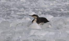 Μαύρος-το arctica Gavia χωριατών είναι ένα μεταναστευτικό υδρόβιο β Στοκ Φωτογραφίες
