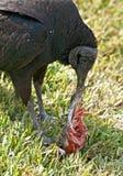 μαύρος τρώγοντας γύπας Στοκ Εικόνες
