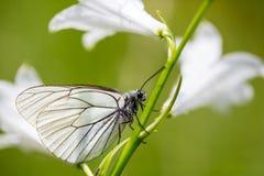 Μαύρος-φλεβώδης άσπρος μίσχος W crataegi aporia πεταλούδων πλάγιας όψης Στοκ Εικόνες
