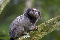 Μαύρος-φουντωτός marmoset, ενδημικός αρχιεπίσκοπος της Βραζιλίας Στοκ Εικόνα