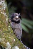 Μαύρος-φουντωτός marmoset, ενδημικός αρχιεπίσκοπος της Βραζιλίας Στοκ εικόνες με δικαίωμα ελεύθερης χρήσης