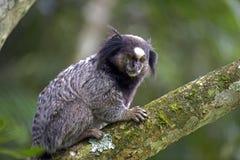 Μαύρος-φουντωτός marmoset, ενδημικός αρχιεπίσκοπος της Βραζιλίας Στοκ φωτογραφία με δικαίωμα ελεύθερης χρήσης