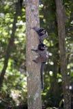 Μαύρος-φουντωτός marmoset, ενδημικός αρχιεπίσκοπος της Βραζιλίας Στοκ Φωτογραφία