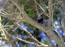 Μαύρος-φουντωτός marmoset, ενδημικός αρχιεπίσκοπος της Βραζιλίας Στοκ Εικόνες
