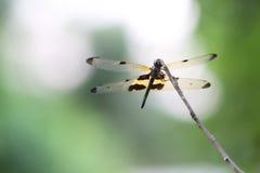 Μαύρος-φτερωτή λιβελλούλη Στοκ φωτογραφίες με δικαίωμα ελεύθερης χρήσης