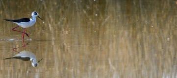 Μαύρος-φτερωτό ξυλοποδάρων στοκ εικόνα με δικαίωμα ελεύθερης χρήσης