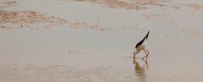 Μαύρος-φτερωτό ξυλοπόδαρο Στοκ εικόνες με δικαίωμα ελεύθερης χρήσης