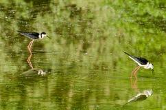 Μαύρος-φτερωτό ξυλοπόδαρο Στοκ Εικόνα