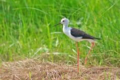 Μαύρος-φτερωτό πουλί ξυλοποδάρων στοκ φωτογραφία με δικαίωμα ελεύθερης χρήσης