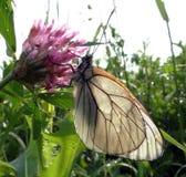 Μαύρος-φλεβώές λευκό πεταλούδων Στοκ Εικόνα