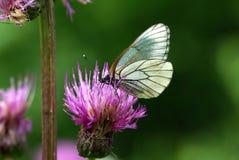 Μαύρος-φλεβώδης άσπρη πεταλούδα (crataegi Aporia) Στοκ εικόνα με δικαίωμα ελεύθερης χρήσης