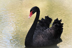 μαύρος χαριτωμένος κύκνο&sigm Στοκ εικόνα με δικαίωμα ελεύθερης χρήσης