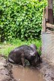 μαύρος χοίρος Στοκ Φωτογραφία