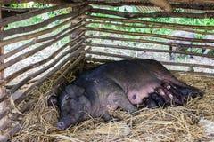 μαύρος χοίρος Στοκ φωτογραφία με δικαίωμα ελεύθερης χρήσης