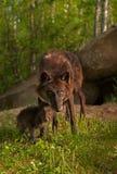 Μαύρος λύκος (Λύκος Canis) και στάση κουταβιών έξω από την περιοχή κρησφύγετων Στοκ φωτογραφίες με δικαίωμα ελεύθερης χρήσης