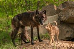 Μαύρος λύκος (Λύκος Canis) και στάση κουταβιών στην είσοδο κρησφύγετων Στοκ φωτογραφία με δικαίωμα ελεύθερης χρήσης
