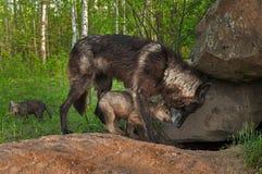 Μαύρος λύκος (Λύκος Canis) και στιγμή μεριδίου κουταβιών σε Densite Στοκ Φωτογραφία
