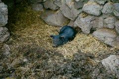 Μαύρος ύπνος χοίρων στο Thatch Στοκ εικόνα με δικαίωμα ελεύθερης χρήσης
