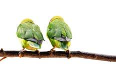 Μαύρος-Cheeked Lovebirds Στοκ Φωτογραφία