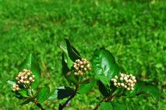 Μαύρος chokeberry ή κλάδος aronia με τους οφθαλμούς Στοκ Εικόνα