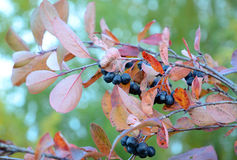 Μαύρος chokeberry κλάδων Στοκ Φωτογραφίες