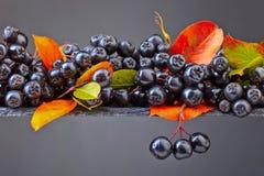 Μαύρος chokeberry με τα φύλλα φθινοπώρου σε ένα σκοτεινό υπόβαθρο Στοκ Εικόνα