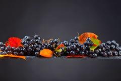 Μαύρος chokeberry με τα φύλλα φθινοπώρου σε ένα σκοτεινό υπόβαθρο Στοκ Εικόνες