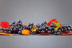Μαύρος chokeberry με τα φύλλα φθινοπώρου σε ένα σκοτεινό υπόβαθρο Στοκ φωτογραφία με δικαίωμα ελεύθερης χρήσης