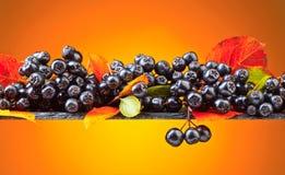 Μαύρος chokeberry με τα φύλλα φθινοπώρου Στοκ φωτογραφία με δικαίωμα ελεύθερης χρήσης