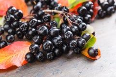 Μαύρος chokeberry με τα φύλλα φθινοπώρου Στοκ Εικόνα