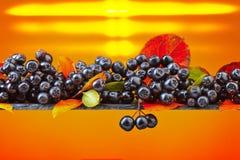 Μαύρος chokeberry με τα φύλλα φθινοπώρου Στοκ Φωτογραφίες
