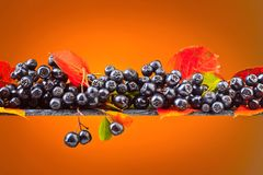 Μαύρος chokeberry με τα φύλλα φθινοπώρου Στοκ εικόνες με δικαίωμα ελεύθερης χρήσης