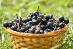 Μαύρος chokeberry μούρων Aronia στοκ εικόνα με δικαίωμα ελεύθερης χρήσης