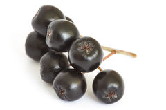 Μαύρος chokeberry μούρων Aronia Στοκ Εικόνα