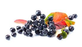 Μαύρος chokeberry που απομονώνεται στο άσπρο υπόβαθρο Στοκ φωτογραφία με δικαίωμα ελεύθερης χρήσης