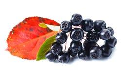 Μαύρος chokeberry που απομονώνεται στο άσπρο υπόβαθρο Στοκ Φωτογραφίες