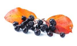 Μαύρος chokeberry που απομονώνεται στο άσπρο υπόβαθρο Στοκ Εικόνες