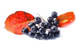 Μαύρος chokeberry που απομονώνεται στο άσπρο υπόβαθρο Στοκ φωτογραφίες με δικαίωμα ελεύθερης χρήσης