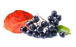 Μαύρος chokeberry που απομονώνεται στο άσπρο υπόβαθρο Στοκ εικόνα με δικαίωμα ελεύθερης χρήσης
