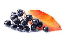 Μαύρος chokeberry που απομονώνεται στο άσπρο υπόβαθρο Στοκ Φωτογραφία