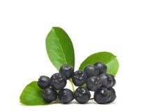 μαύρος chokeberry Στοκ φωτογραφίες με δικαίωμα ελεύθερης χρήσης