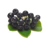 μαύρος chokeberry Στοκ Φωτογραφίες