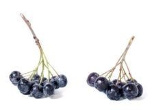 Μαύρος chokeberry - aronia Στοκ Φωτογραφία